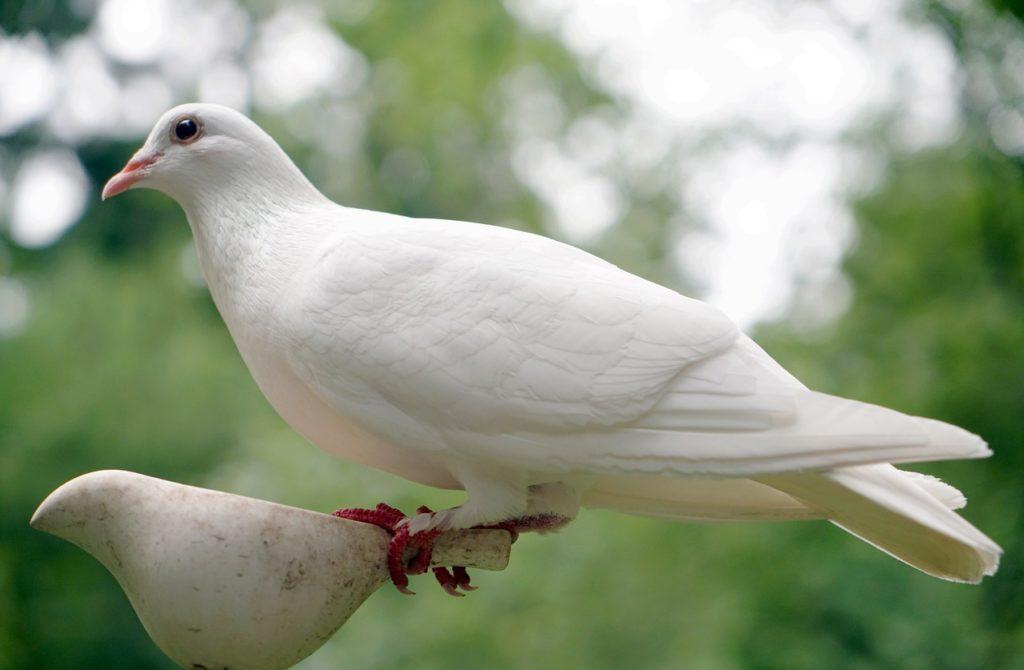 Giftweizen Tauben