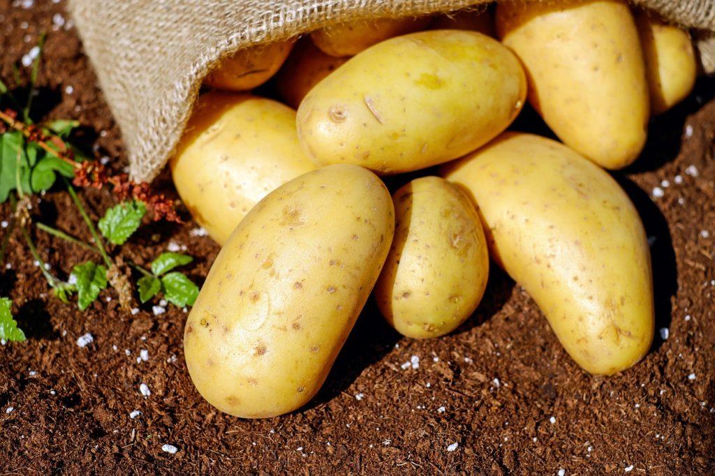 Kartoffeln als Köder für Wühlmausfalle