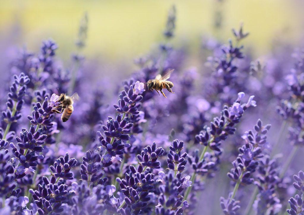 Lavendel gegen Wühlmäuse